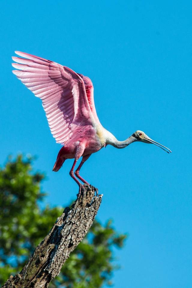 Roseate-Spoonbill-about-to-Take-Off