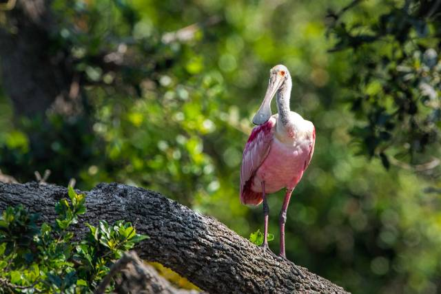 Roseate-Spoonbill-on-Tree-Limb