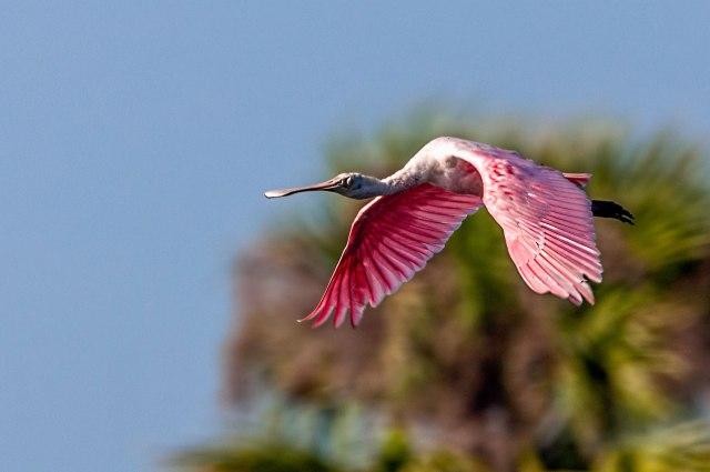 Spoonbill-in-Flight