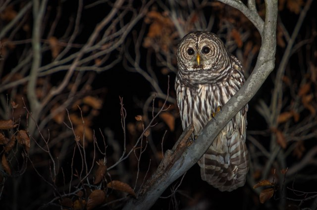 Barred-Owl-with-Fall-Colors