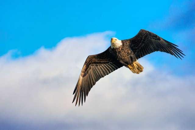 Conowingo-Dam-Eagle