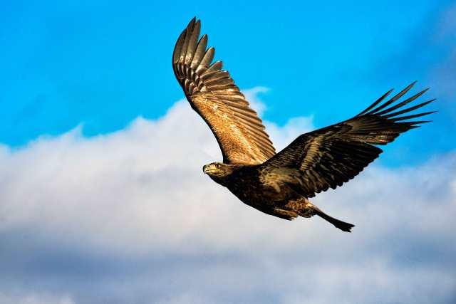 Conowingo-Dam-Immature-Eagle
