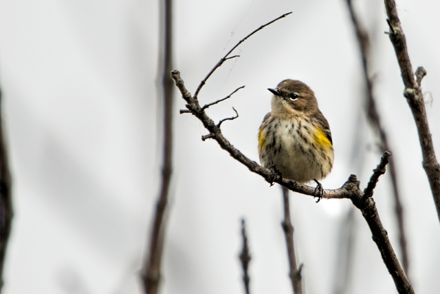 Yellow-rumped-Warbler-3