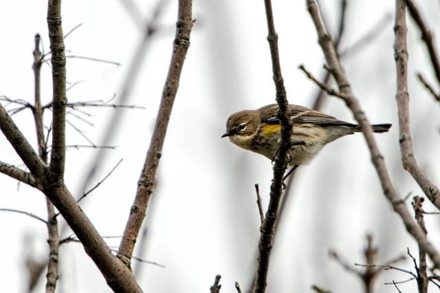Yellow-rumped-Warbler-4