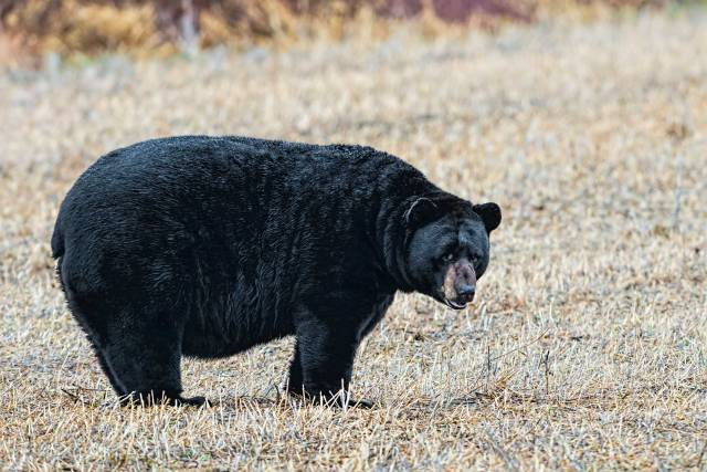 Black-Bear-at-Alligator-River-NWR-3