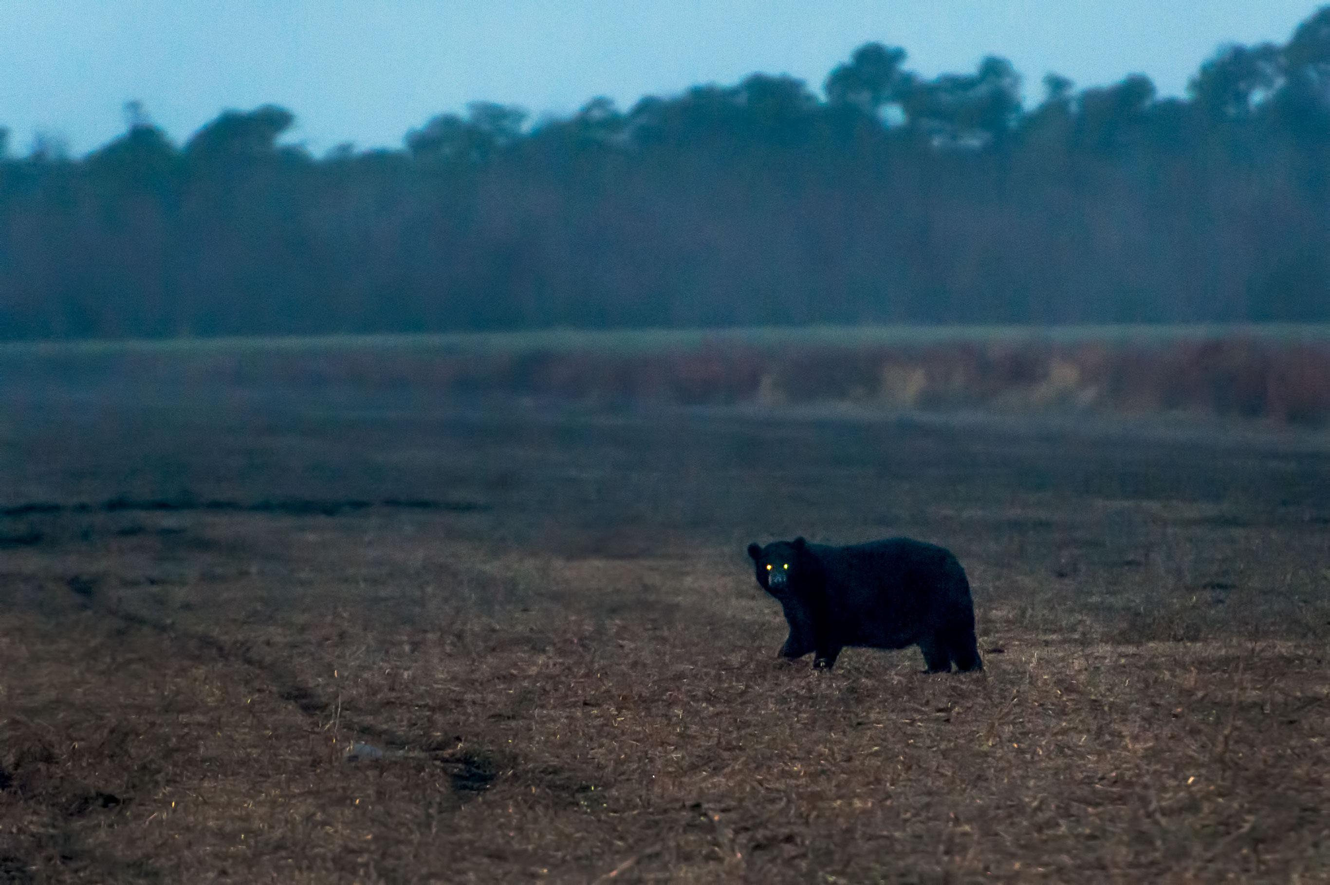 Bear eyes at night - photo#23