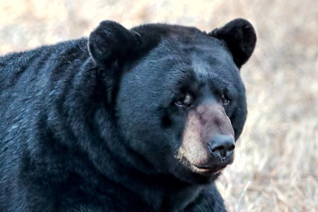 Black-Bear-10