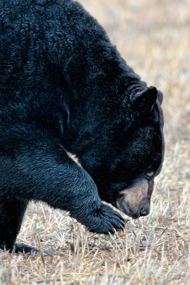 Black-Bear-11