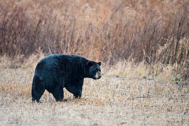 Black-Bear-5