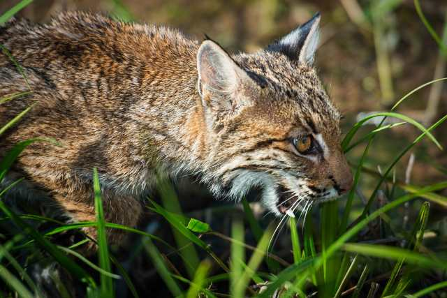 Bobcat-Hunting-on-the-Prairie