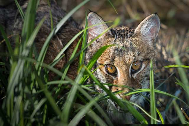 Bobcat-on-the-Prairie