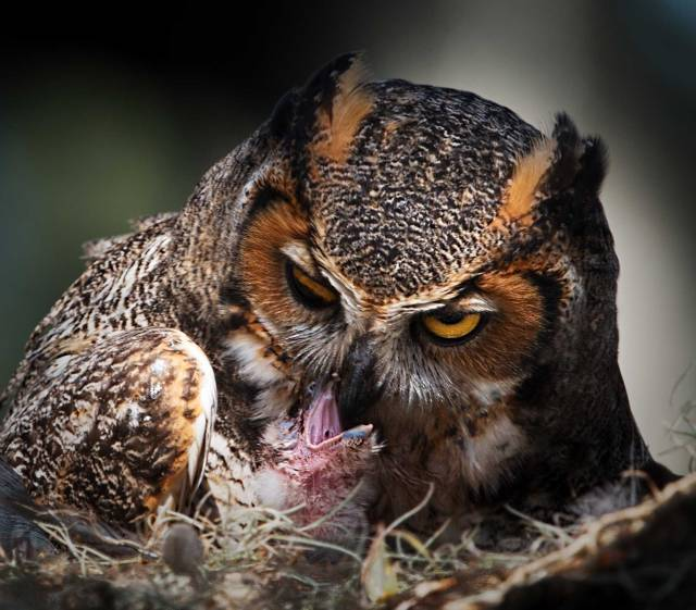 Female-Great-Horned-Owl-Feeding-Its-Newly-Hatched-Owlet