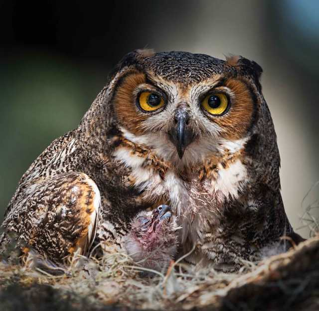 Female-Great-Horned-Owl-with-Owlet