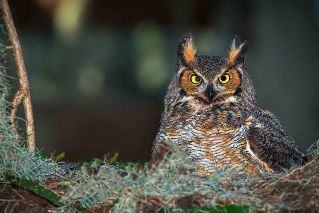 Great-Horned-Owl-in-Nest