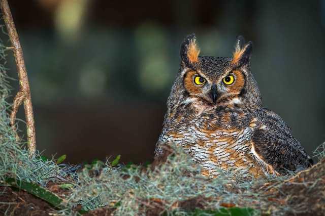 Great-Horned-Owl-in-Nest