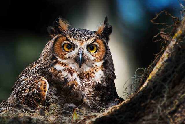 Great-Horned-Owl-in-St-Cloud-FL