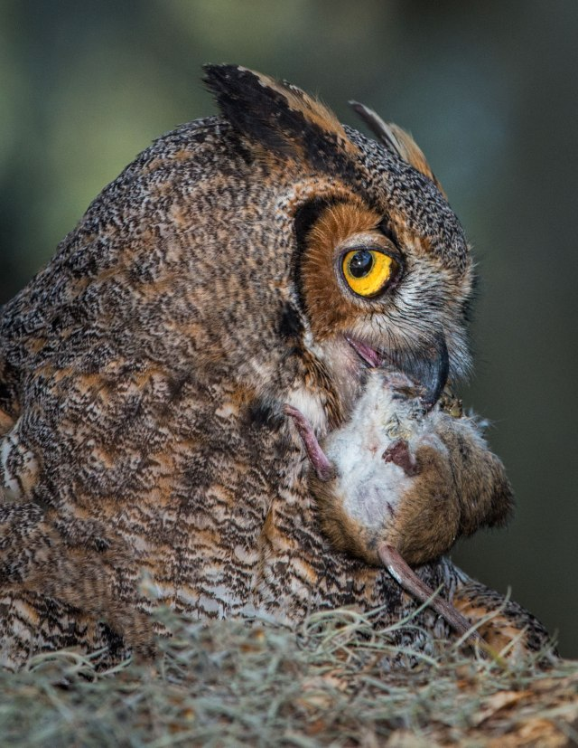 Great-Horned-Owl-with-Mouse