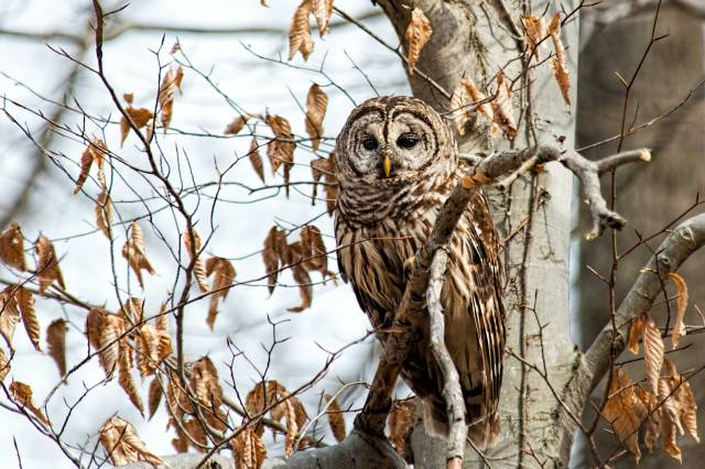 Barred-Owl-in-Fall-Tree