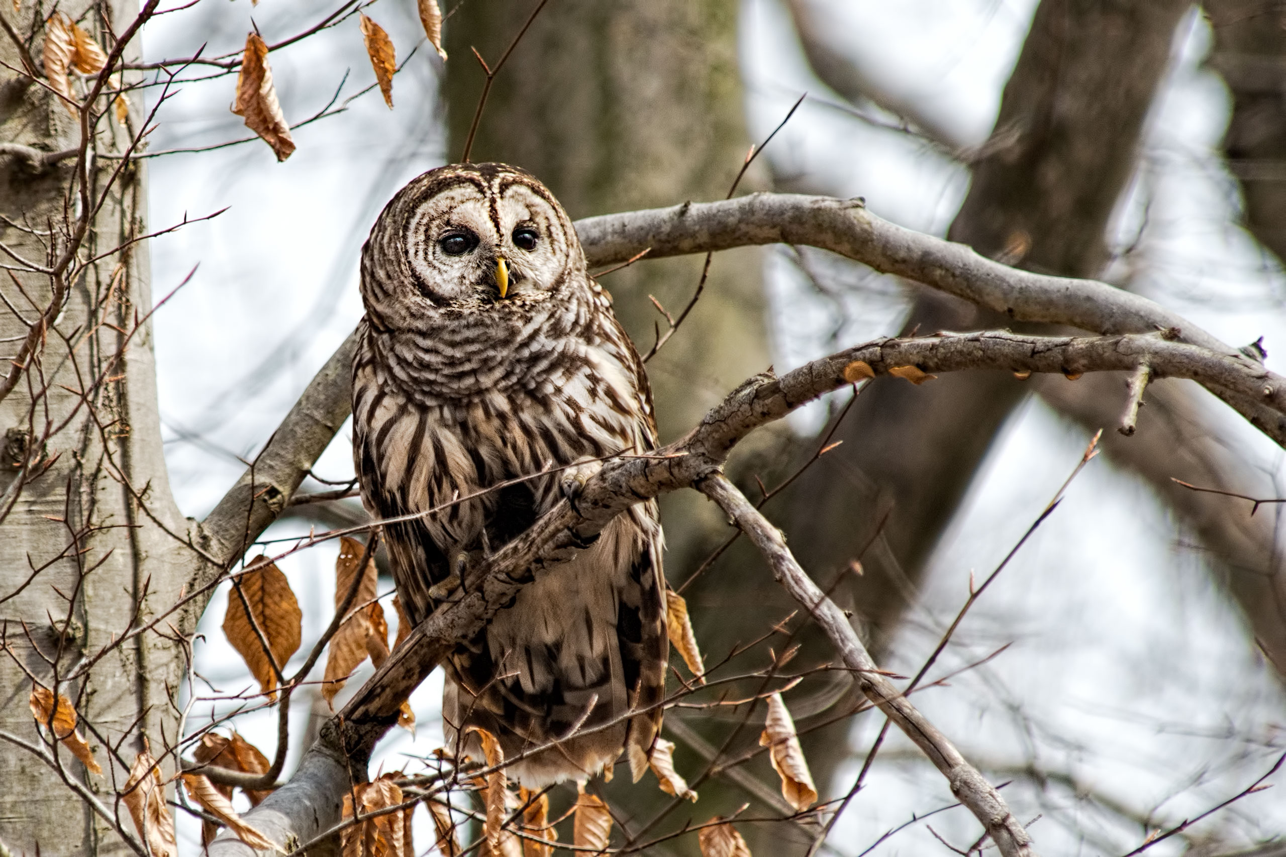 barred owl in tree jpg 2559 1706 painting and drawing