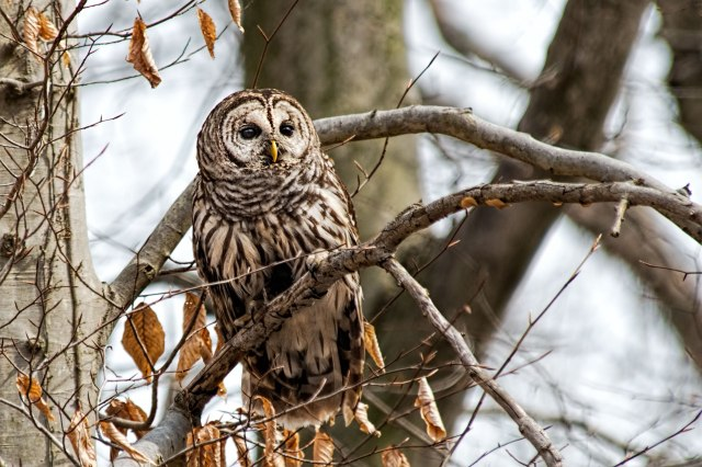 Barred-Owl-in-Tree