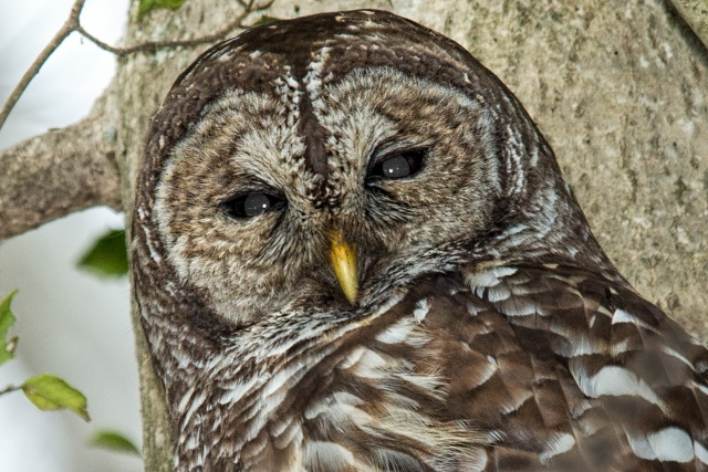 Barred-Owl-on-Lake-Montclair-2