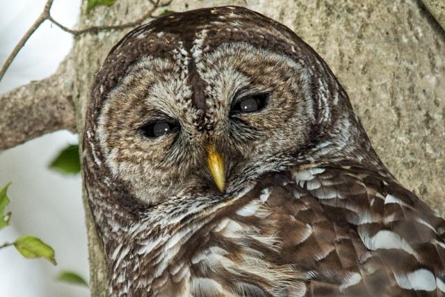 Barred-Owl-on-Lake-Montclair-2
