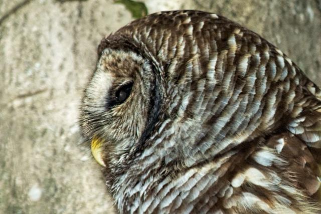 Barred-Owl-Profile