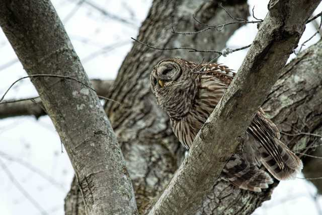 Leading-Lines---Barred-Owl-2