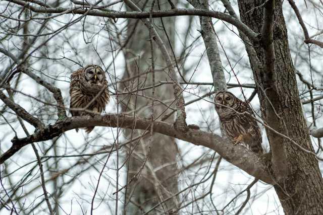 Male-and-Female-Barred-Owls