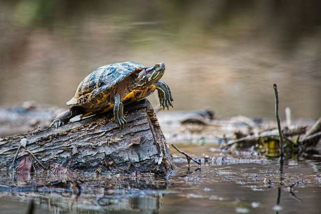 River-Cooter