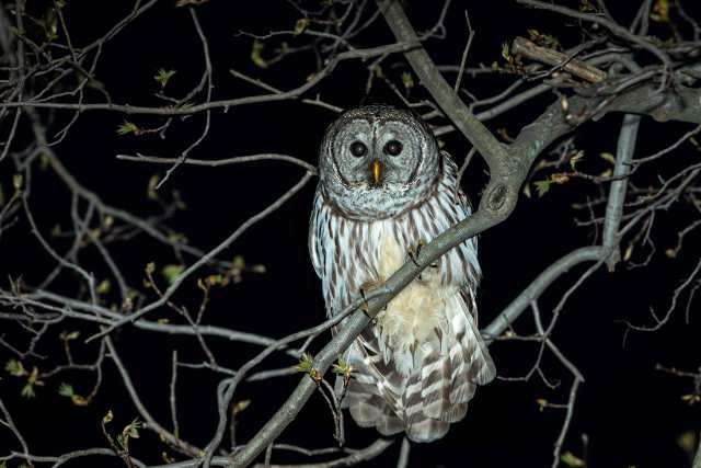 Barred-Owl-in-Tree-at-Night