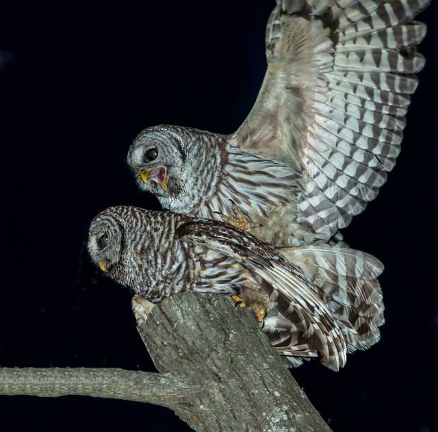 Barred-Owls-Mating-2