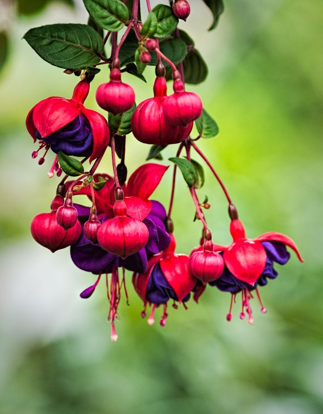 Purple-and-Pink-Fuchsia