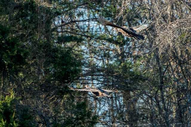 Turkeys-at-Merrimac-Farm-WMA-4