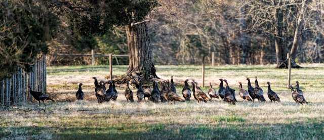 Turkeys-at-Merrimac-Farm-WMA