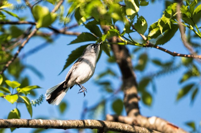 Blue-gray-Gnatcatcher-Leaping-into-the-Air
