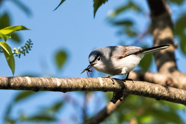 Blue-gray-Gnatcatcher-with-Insect