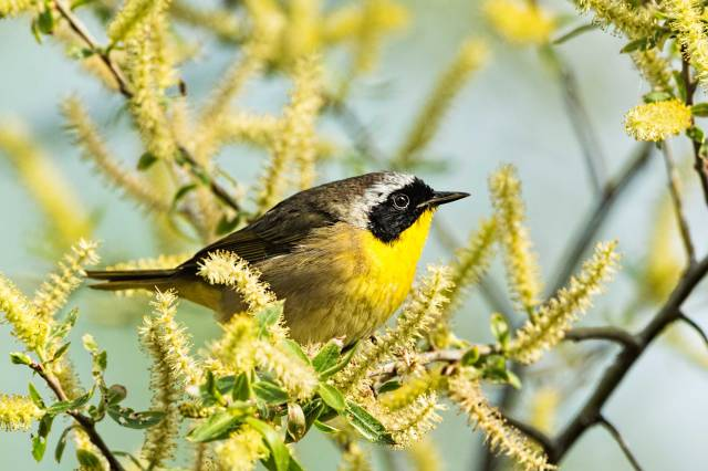Common-Yellow-throat-Warbler-2