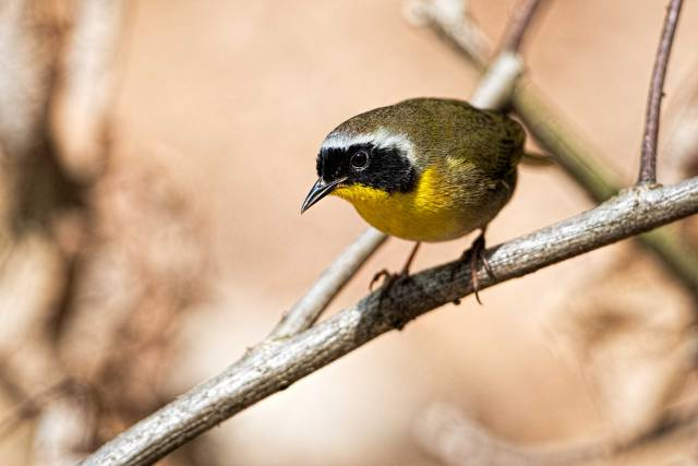 Common-Yellow-throat-Warbler