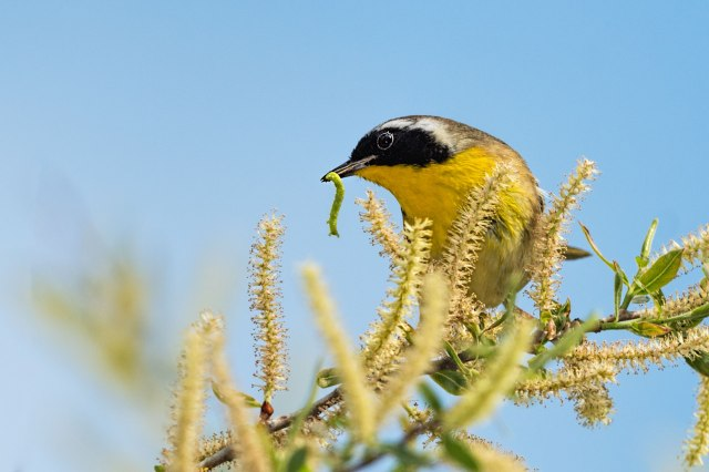 Common-Yellow-throat-Warbler-with-Worm