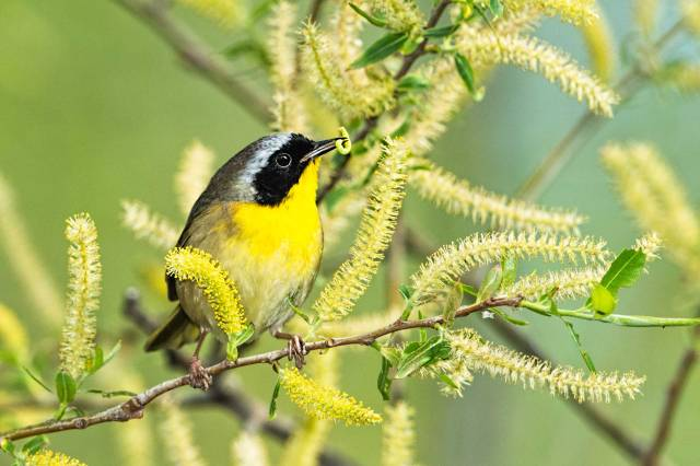 Common-Yellow-throat-Warbler