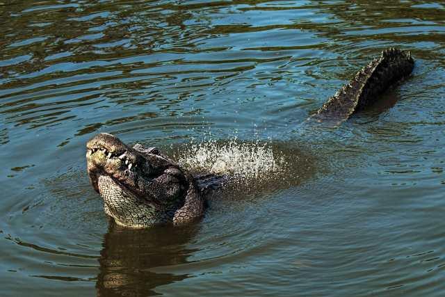 Gator-Dancing-Water-2