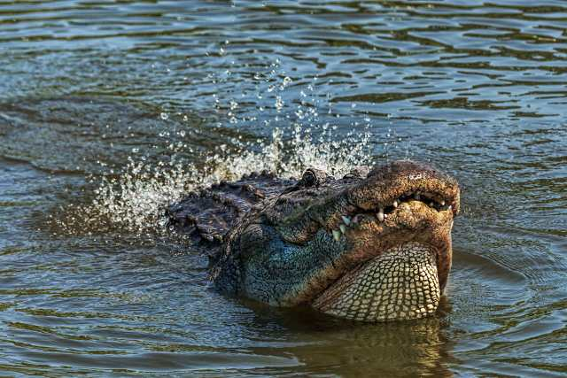 Gator-Dancing-Water-3