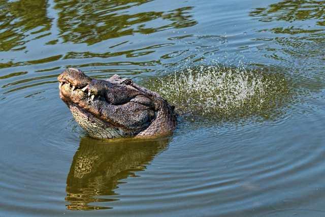 Gator-Dancing-Water