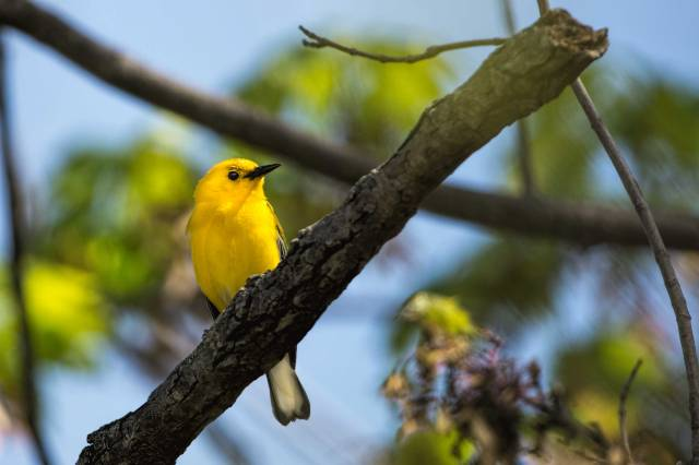 Prothonotary-Warbler-2