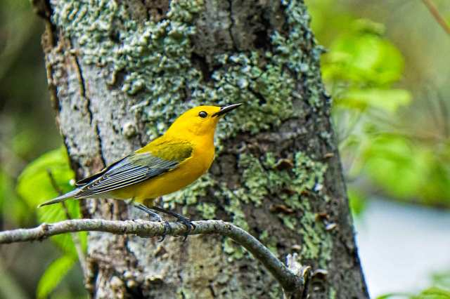 Prothontary-Warbler-at-LSP