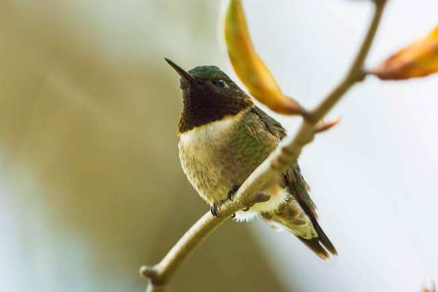 Ruby-throated-Hummingbird 2