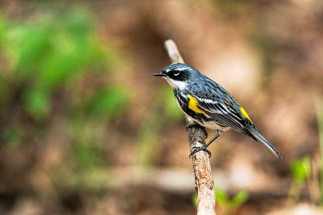 Yellow-rumped-Warbler-2