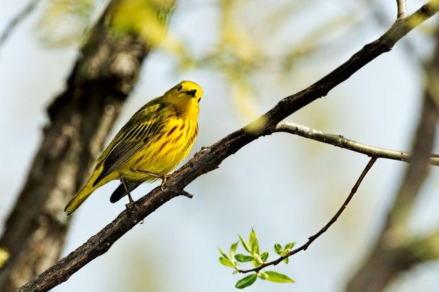 Yellow-Warbler-2
