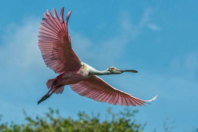 Spoonbill-in-Flight